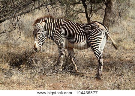 A Zebra in the savannah of Africa