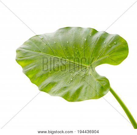 Leaf of calla lily flower with water drops on white background