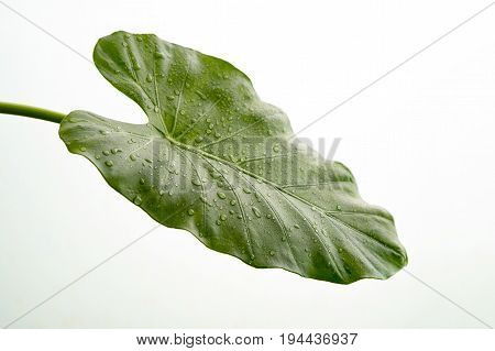 Beautiful green calla leaf with drops of water isolated on white background