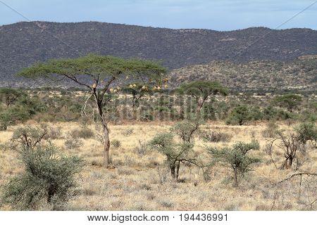 The African savannah in Kenya i Africa