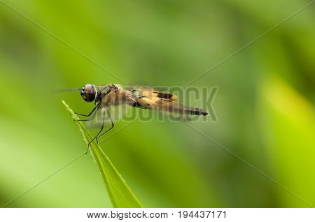 Yellow-barred Flutterer (Rhyothemis phyllis) dragonfly is perching on a leaf