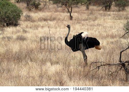 The bird ostrich in the African savanna in Kania