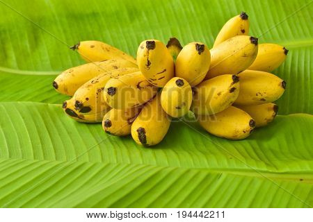 Yellow lady finger bananas put on green banana leaf kluay-khai Musaceae Pisang Mas