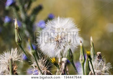 Dandelion seed ready to fly away with the wind