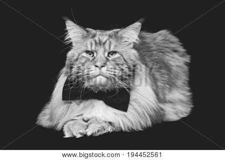 beautiful big maine coon cat with black bow tie. Copy space. Studio shot on black background. monochrome