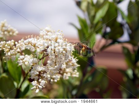 Photo of a honey bee full of pollen. poster