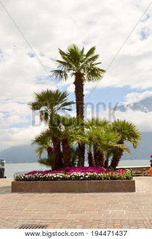 Parterre of palm trees of several sizes and flowers mauve and white near the lake of guard in italy