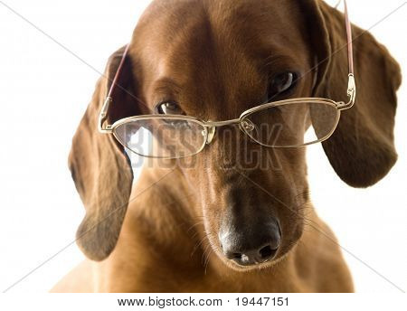Clever dog in glasses