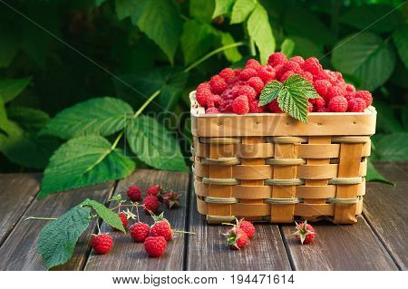 Summer raspberry harvest. Wicker basket with berries closeup on wooden table outdoors at raspberry bush with green leaves background.