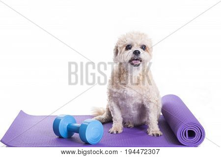 Dog sitting on a yoga mat concentrating for exercise isolated on white background