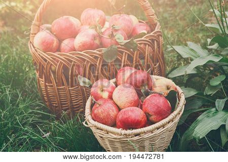 Basket with apples in garden. Seasonal fruit gathering, fall harvest on grass, agriculture and farming concept