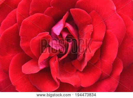 Close up of a red rose flower top view full frame