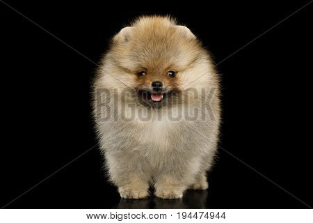 Groomed miniature Pomeranian Spitz puppy Standing on black isolated background, front view