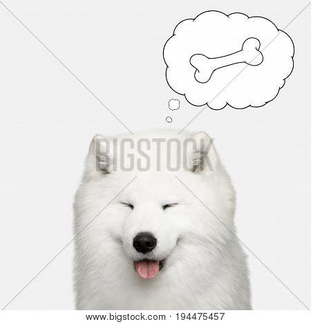 Portrait of Samoyed Dog with closed eyes thinking of bone on Isolated White Background, front view
