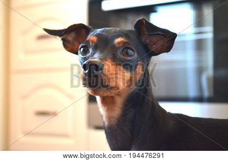 German dog breed - Miniature dwarf pinscher dog pet