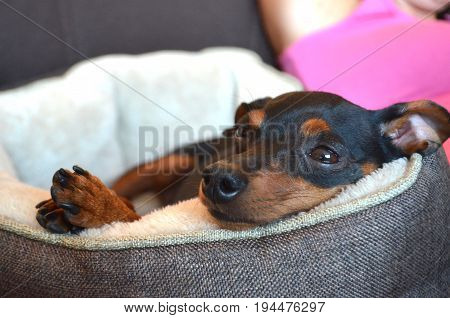 German dog breed - Miniature dwarf pinscher dog pet