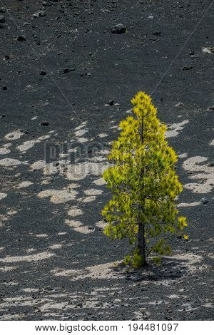 Lonely pine tree in La Palma volcano