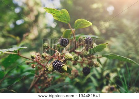 Fresh wild blackberry on branch with ripe fruits close-up in the forest