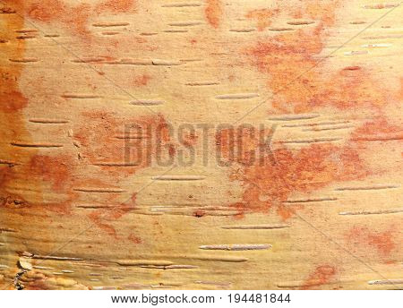 Birch bark with beautiful brown texture as natural background