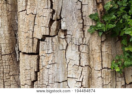 Weathered cracked oak tree bark partially covered in ivy, horizontal with copy space
