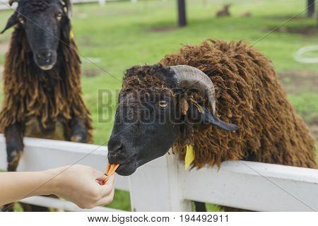 tourist feeding sheep with carot in a sheep farm.