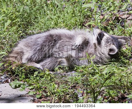 Wild Raccoon Resting In Grassy Wooded Field