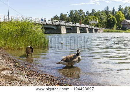 Two barnacle goose birds in water white bridge in background