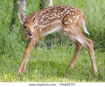 Beautiful Young Whitetail Fawn Standing For Portrait