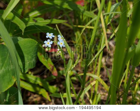 Tiny blue forget-me-not in the green grass