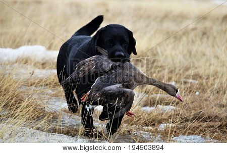 he Taimyr Peninsula. The work of a hunting dog in a goose hunt.