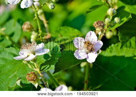 Blackberry Blossom Flowers Organic Garden Berries Bush