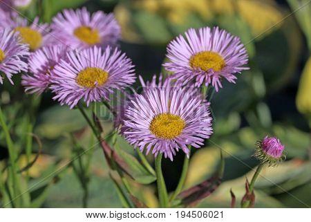Purple colour Aster alpinus in summer time