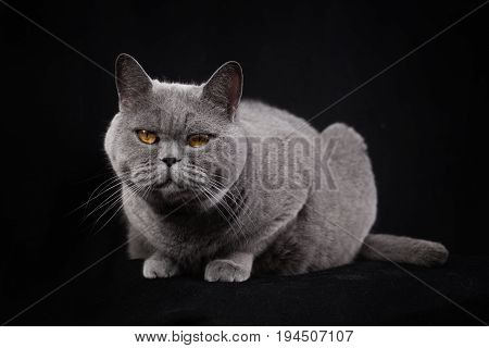 Gray Shorthair British Cat  On A Black Background