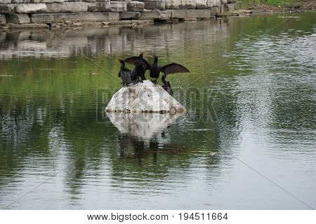 A flock of double crested cormorants (Phalacrocorax auritus) sits on a rock in a retention pond in Plainfield, Illinois during June.