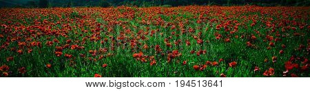 Field Of Red Poppy Seed Flower Background
