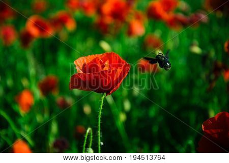 bee fly near flower in field of red poppy on green stem summer and spring drug and love intoxication opium honey and nectar