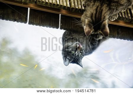 Tabby cat looks for the fishes in the pond and is reflected on the still water surface copy space
