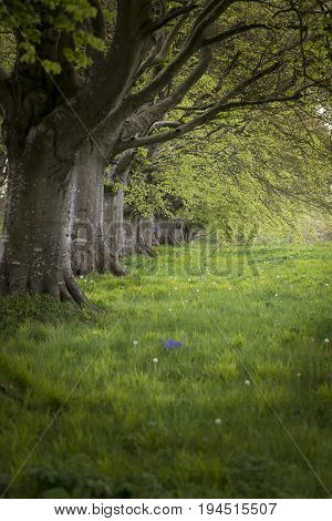 Selective Focus Landscape Of Beech Tree Avenue In English Landscape