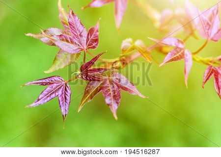 Red young leaves of Maple Liquidambar formosana Chinese sweet gum or Formosan gum with sunlight are blossoming in spring on green background