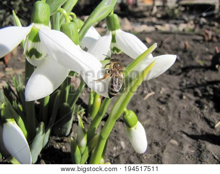 A bee collects nectar on snowdrops, in spring