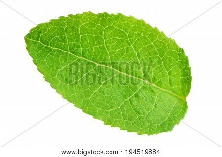 Bilberry or blueberry leaf isolated on white background with clipping path