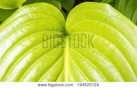 Closeup of healthy vibrant green hosta leaf plants and gardening background