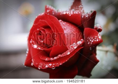 pristine red rose after a good rain
