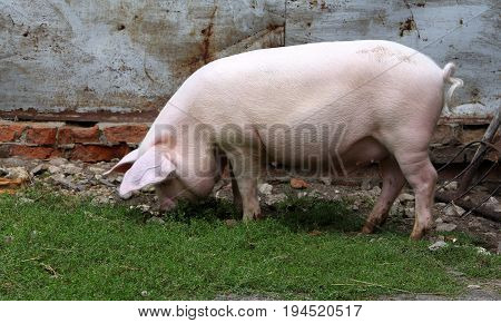 Big White Pig Digging The Ground In The Barnyard