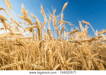 Gold Wheat Field. Beautiful Nature Sunset Landscape. Background of ripening ears of meadow wheat field. harvest, agriculture, agronomics, food, production, eco concept.