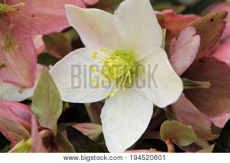 Close-up of white Christmas rose in a garden