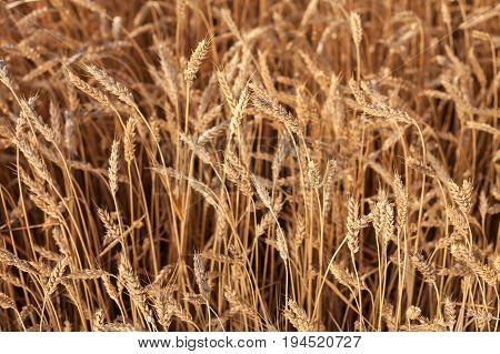 Gold Wheat Field. Background of ripening ears of meadow wheat field. harvest, agriculture, agronomics, food, production, eco concept.