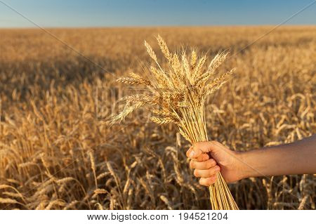the man holding the ripened cones of wheat on background of ripening ears of meadow wheat field. empty space for the text. agriculture, agronomics, food, production, organic, harvest concept.