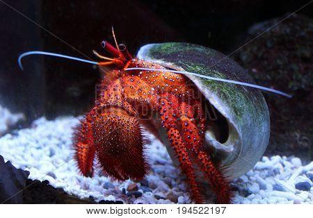 Large White-spotted Hermit Crab (dardanus Megistos) In Aquarium