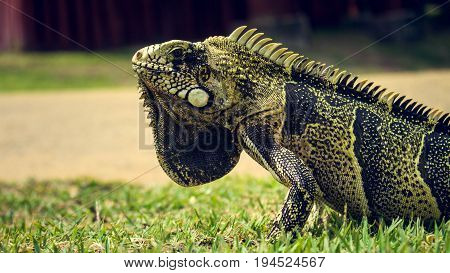 Green and black iguana with ivory colored spikes on its back
